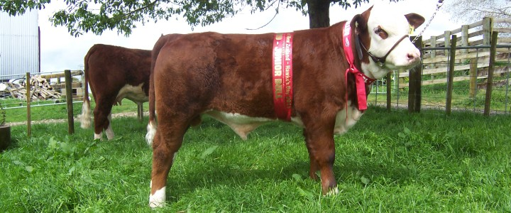2015 – WLB Global 72M Sired Bull Calf